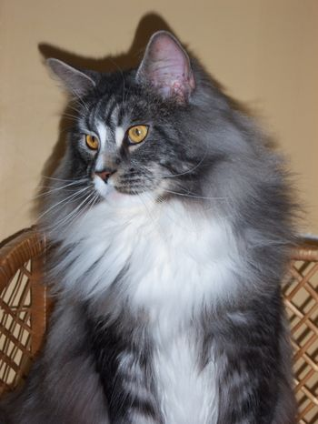 Femelle maine coon red silver tabby